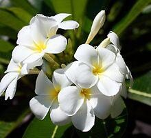 frangipani flowers, fiji by chelka09