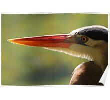 Great Blue Heron Portrait Poster
