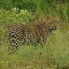 Leopard by petraE