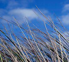 calm tall doon blue grass by morrbyte
