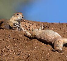 Kung Fu Prairie Dogs 3 (The Knockout) by kurtbowmanphoto