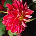 Red Dahlia by Rainy