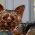 My Little Friend - Buddy the Yorkshire Terrier by Betty Northcutt