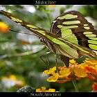 Butterfly (South America) ~ Malachite II by Kimberly P-Chadwick