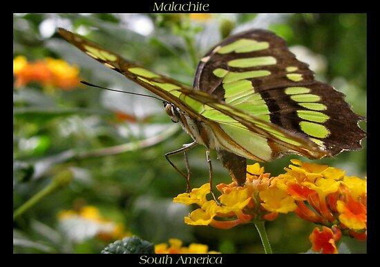 Butterfly (South America) ~ Malachite II by Kimberly Chadwick