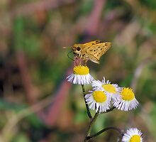 Fiery Skipper on white wildflower by Ben Waggoner