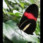 Butterfly (South America) ~ Red Postman II by Kimberly P-Chadwick