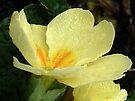 Single Lemon Poly by lynn carter