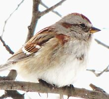 A Simple Tree Sparrow by lorilee