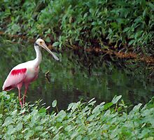 Roseate Spoonbill wading by Ben Waggoner