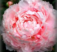 Pink Peony by Diana Nault