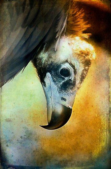 Cinerous Vulture Portrait by alan shapiro