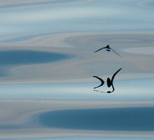 Cape Petrel, Antarctic Pensinsular by Neville Jones