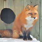 Fox # 2 by MarieG