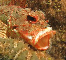 Yawning Red Rock Cod by Matt-Dowse