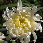 Chrysanthemum flower, Spring by 3Cavaliers