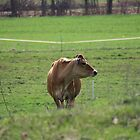 Jersey Cow Loving Life, New York by kremphoto