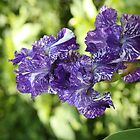 Bearded Iris Macro by kremphoto