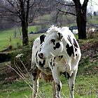 Holstein Cow standing in field by kremphoto