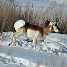 Mother Nature can be so cruel..update on antelope by tuffcookie