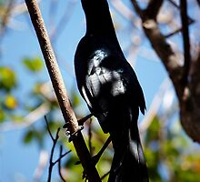 shady grackle  by Annalisa Bruno