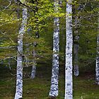 Beech Forrest somewhere in the Pyrenees .. by Brian  Moriarty