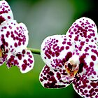 Orchid 3 by Jeanie93