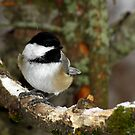 Black-capped Chickadee in Lichen Covered Tree by Robert Miesner