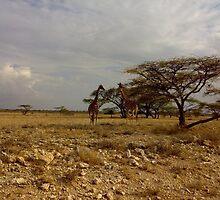 Samburu Giraffes by kachoi