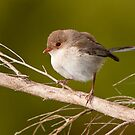 Female Fairy Wren at Laratinga #2 by Barb Leopold