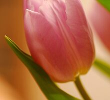 Gentle Tulip  by vbk70