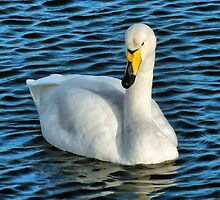 The Whooper Swan. by Lilian Marshall