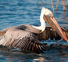 Brown Pelican Just Taking Off by imagetj