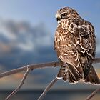 Rough Legged Hawk by Michael Cummings