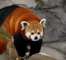 Red Panda Leaving His Den by Robert Miesner