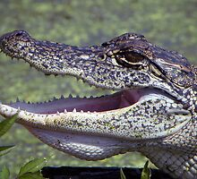 Gator by venny