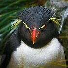 Rock-hopper Penguin Falkland Is.  by Craig Baron