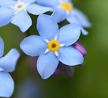 Little blue bloom by the bluffs by LAaustin