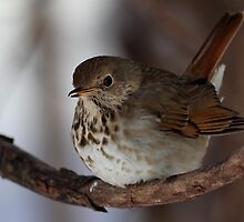 Winter Hermit / Hermit Thrush by Gary Fairhead