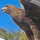 "Golden Eagle.. (Formerly known as ""Falcon!!"")  by heatherfriedman"
