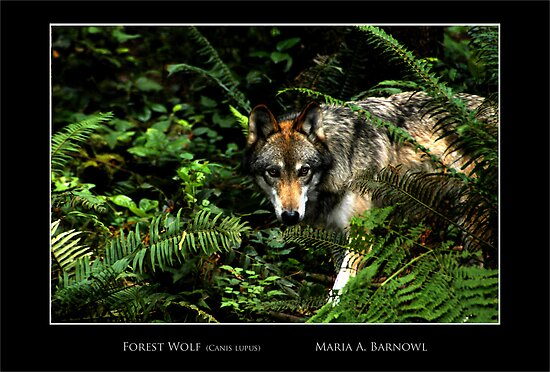 Forest Wolf - - Posters & More by Maria A. Barnowl