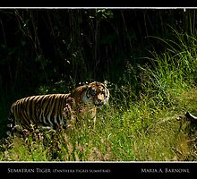 Sumatran Female Tiger - - Posters & More by Maria A. Barnowl