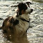 Farm Collie Cooling Off by AnnDixon