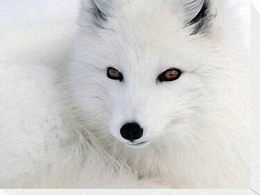 Arctic Fox by Alain Turgeon