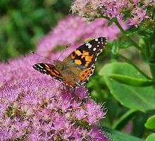 Painted Lady by James Brotherton