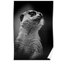 Meerkat doing his best Rudolph Valentino Poster