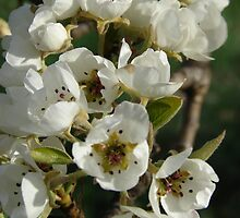 Blossoming Pears by BlueSage