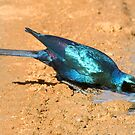 Burchell's Starling by Michael  Moss