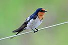 Barn Swallow - Tyto Wetlands  Northern Australia. by Alwyn Simple