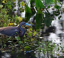 Contemplative Tricolored Heron by Ben Waggoner